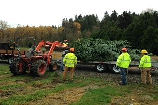 Grand Fir being felled for this year&#39s downtown holiday tree